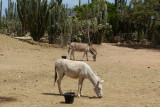 The donkeys here have lots of acres to roam in - but they like to be where the action (and the food) is.