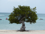 A divi-divi tree in the middle of the beach