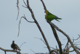 Brown-throated, or Caribbean parakeets (I believe)