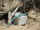 Arubian blue (whiptail) lizzard - Kododo Blauw
