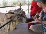 Linda feeds the donkeys & they love it!