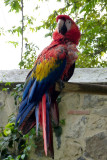One of the macaws that live in the Santa Domingo courtyard