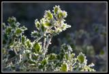 Arbusto helado  -  Frozen shrub