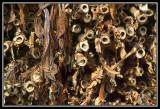Troncos de tabaco secos  -  Dry tobacco plants