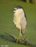 Bihorau Gris - Black Crowned Night-Heron