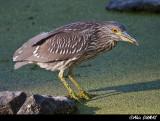 Bihorau Gris Juvénile- Juvenile Black Crowned Night-Heron