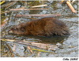 L'éternel rat musqué! - The Eternal Muskrat!