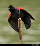 Carouge Mâle criant - Red-winged Blackbird Calling