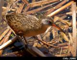 Râle de Virginie - Virginia Rail