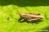 Oedipode à pattes tricolores - Grasshopper