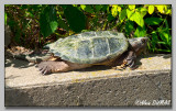 Tortue Serpentine - Snapping Turtle