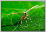 Ptérophore - Plume moth