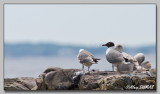 Mouette Atracille - Laughing Gull