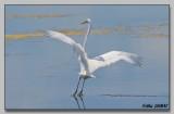 Grandre Aigrette - Great Egret