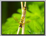 Syrphide - Syrphid
