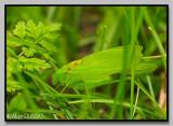 Scuddérie à ailes oblongues - Oblong-winged katydid