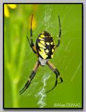 Argiope aurantia femelle - Female Argiope aurantia