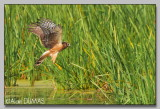 Busard Saint-Martin - Northern Harrier