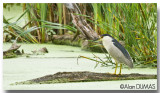Bihorau Gris - Black Crowned Night-Heron