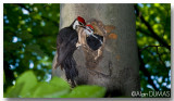 Grand Pic Mâle avec Juvénile - Male Pileated Woodpecker with Juvenile