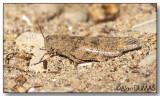 Oedipode à pattes noires - Boll's Grasshopper
