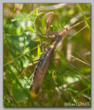 Mante Religieuse type Brune Femelle - Female Brown European Mantid
