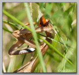 Mante Femelle dévorant une coccinelle - Female Mantid eating a Lady Bug