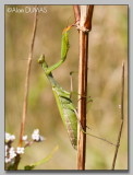Mante Femelle - Female Mantid