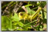 Criquet des Champs - Marsh meadow grasshopper