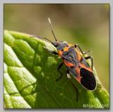 Petite Punaise de l'asclépiade - Small Large Milkweed Bug