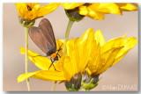 Cisseps à col orangé - Yellow-collared scape moth