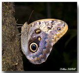 Papillon-chouette - Owl butterfly