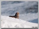 Perdrix Grise - Grey Patridge