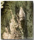 Bupreste des bois francs