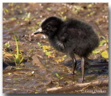 Poussin Râle de Virginie - Virginia Rail Chick