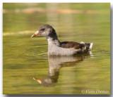 Poule d'eau juvénile Juvenile Common Moorhen