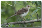 Moqueur Polyglotte - Northern Mockingbird
