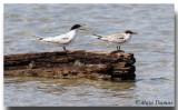 Sterne de Dougall - Roseate Terns