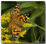 Belle Dame - Painted Lady