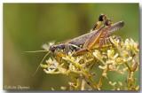 Mélanople à pattes rouges - Red-legged Grasshopper