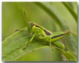 Mlanople birayé - Yellow-striped Grasshopper