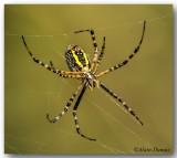 Argiope - Golden Garden Spider