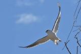 Australian Black-shouldered Kite (Elanus notatus)