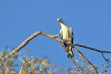 Torres Strait Pidgeon (Ducula spilorrhoa)
