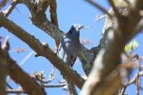 Eastern Reef Heron (Egretta sacra) -- dark phase