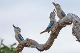 Blue-winged Kookaburras (Dacelo leachii)