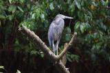 Great-billed Heron (Ardea sumatrana)