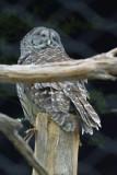 Solo_owl.jpg