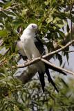Swallow-tailed Kite Juve