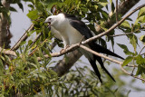 Swallow-tailed Kite Juve Begging to be Fed